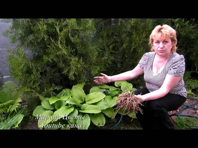 Хоста размножение посадка и уход в открытом грунте