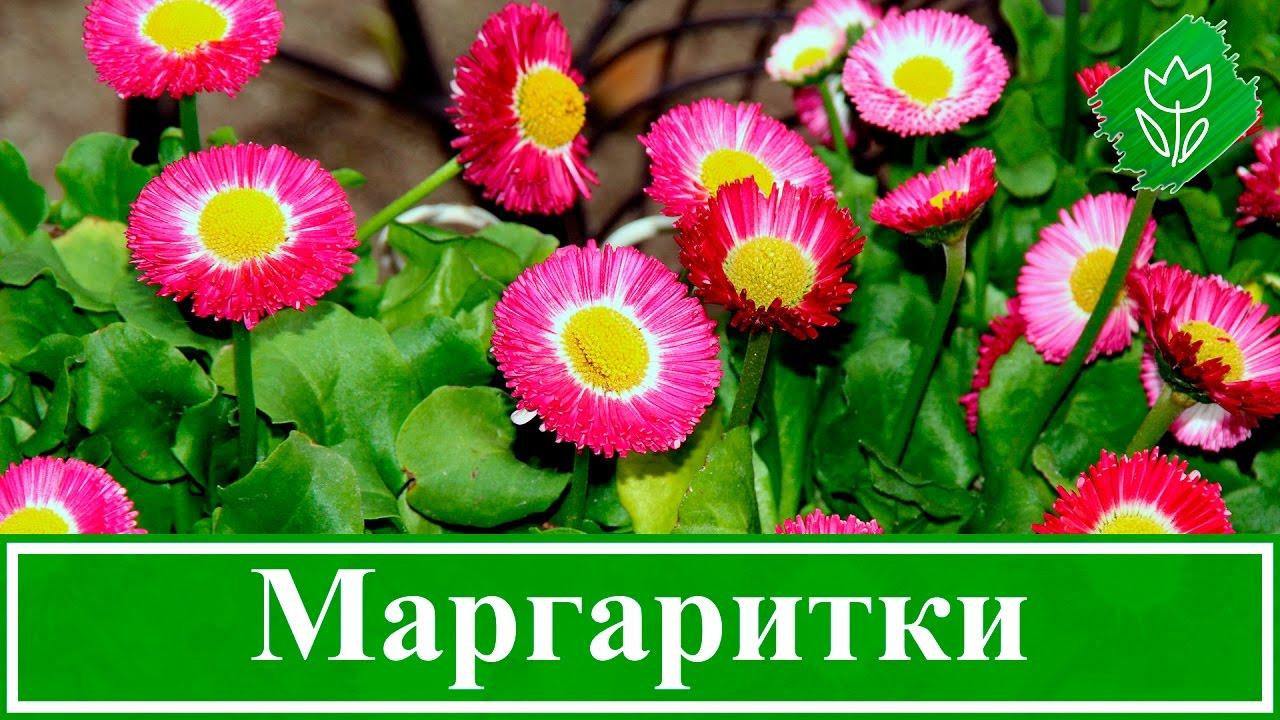 Маргаритки Выращивание в домашних условиях