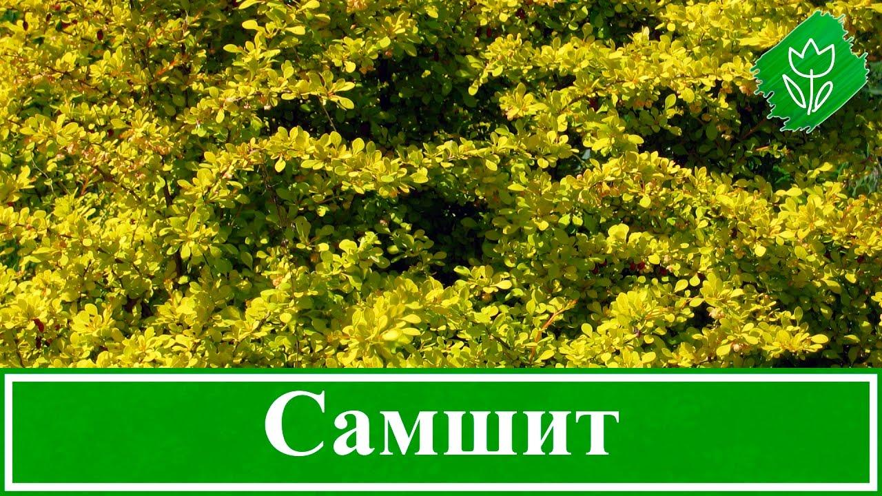 Самшит посадка и уход в открытом грунте в ростовской области