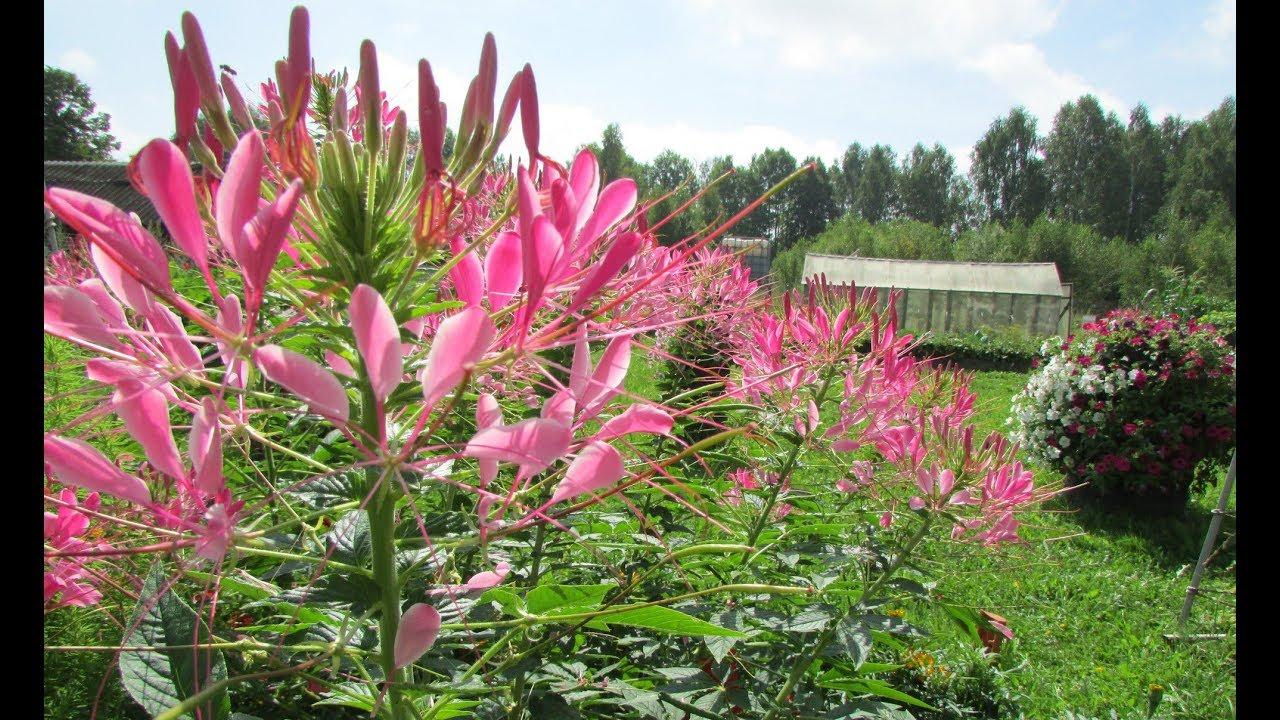 Клеома цветной фонтан посадка и уход в открытом грунте