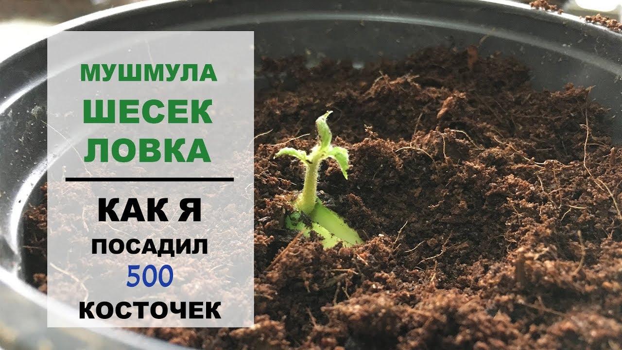 Выращивание мушмулы в Подмосковье и на Украине
