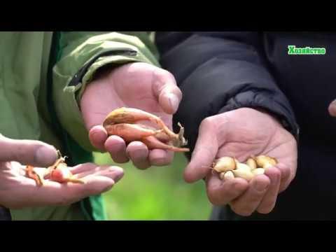 Лук севок посадка и уход в открытом грунте на зиму