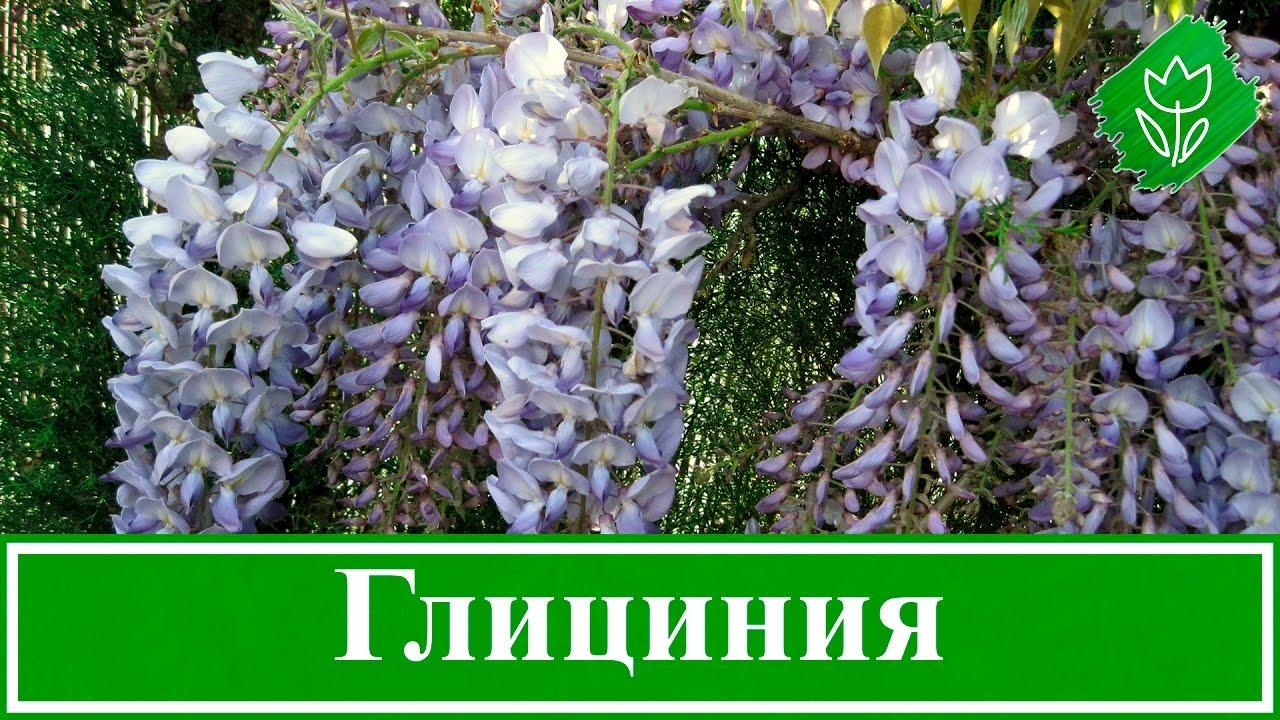 Глициния посадка и уход в открытом грунте в украине