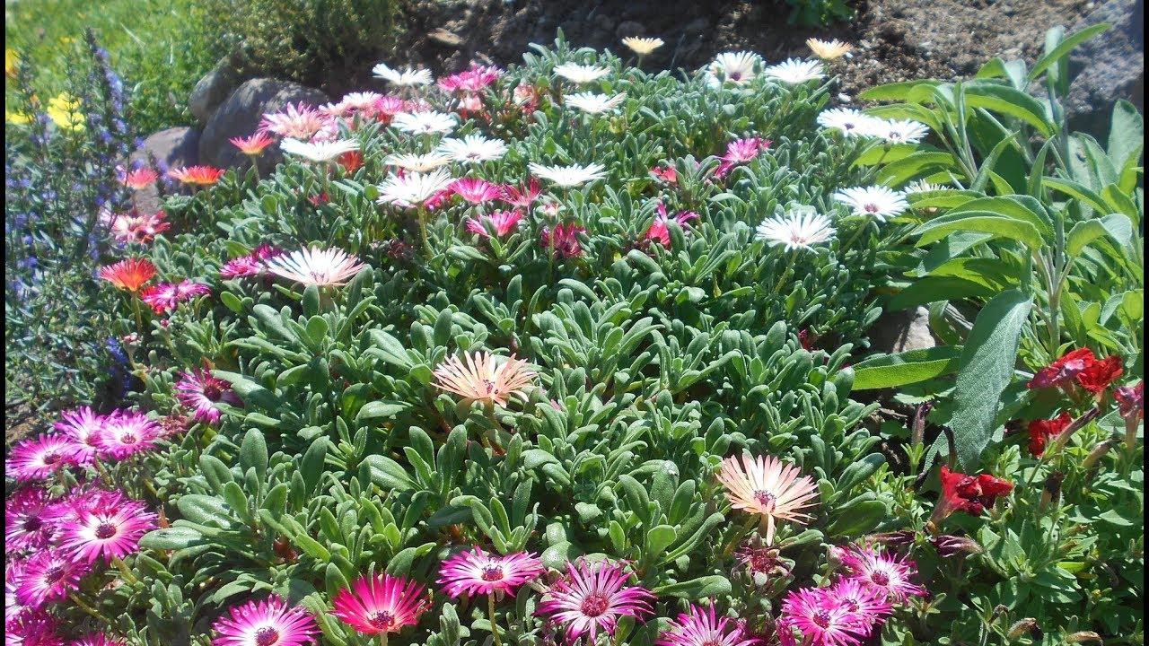 Мезембриантемум кринифлорум посадка и уход фото thumbnail