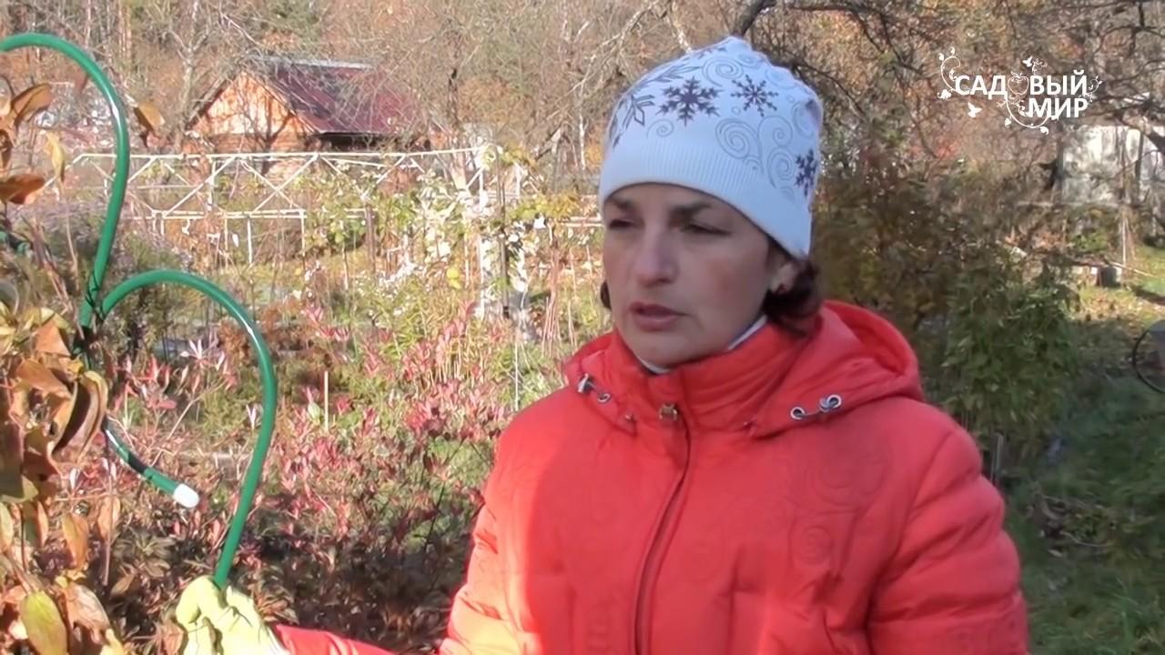 Клематисы посадка и уход в открытом грунте для новичков осенью