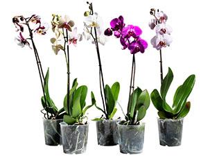 Цветок Орхидеи Семена Купить Цветок Орхидеи Семена